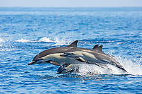 short-beaked common dolphin, Delphinus delphis, mother, calf, jumping, leaping, Nine-mile Bank, San Diego, California, USA, Pacific Ocean