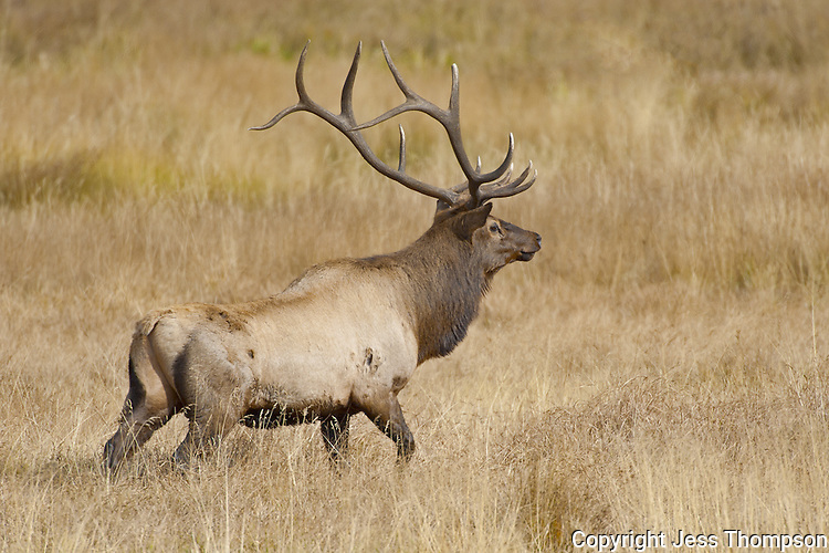Bull Elk, Rocky Mountain National Park, Colorado