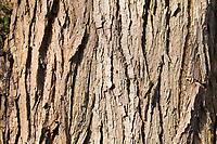 Silber-Weide, Silberweide, Rinde, Borke, Stamm, Baumstamm, Weissweide, Weißweide, Weide, Salix alba, White Willow, bark, rind, trunk, stem, Le Saule blanc, Saule commun, Saule argenté, Osier blanc, Saule Vivier