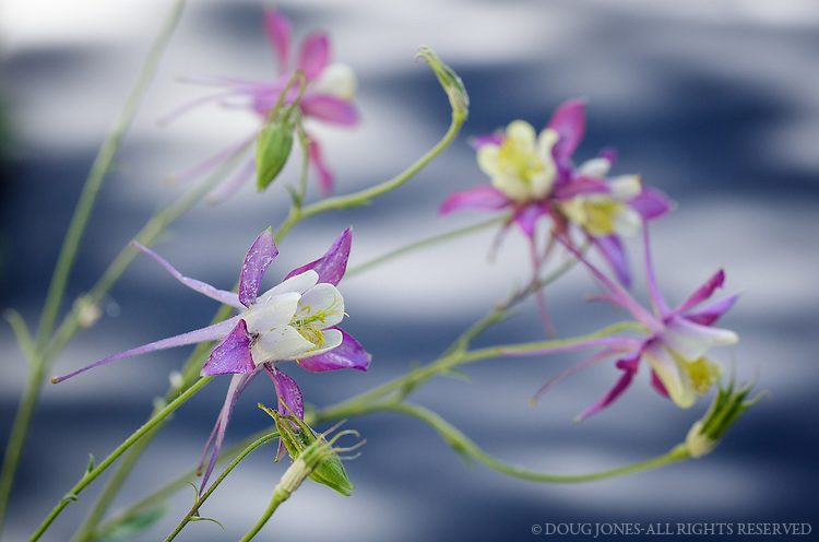 These Columbine line the driveway of our mountain home.  A lovely greeting each day.