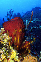 Strawberry vase sponge (Mycale laxissima) and Golden Crinoid (Davidaster rubiginosa) in LIttle Cayman, Cayman Islands.