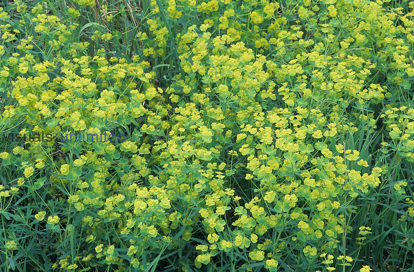 Leafy Spurge is a serious noxious invasive alien plant (Euphorbia esula).