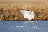 00758-01201 Trumpeter Swan (Cygnus buccinator) flapping wings in wetland, Marion Co., IL