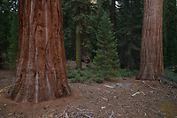 Giant Sequoia (Sequoiadendron giganteum), Sequoia and Kings Canyon National Park, California, USA