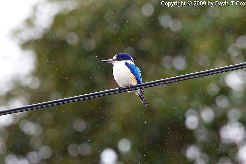 Forest Kingfisher in rain, Daintree River, Queensland, Australia