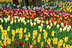 "Skagit County, WA               <br /> Varieties of spring flowering tulips and daffodils form colorful combinations in the RoozenGaarde garden.     ""Courtesy of the Washington Bulb Co. Inc."""