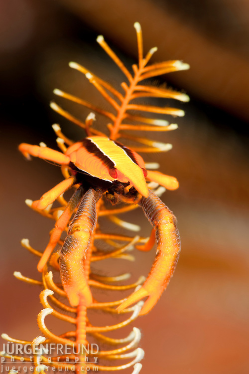 Crinoid squat lobster (Allogalathea elegans)