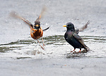 Robins and Grackles bathing in a puddle in my driveway at  in Saugerties, NY, on Thursday, April 21, 2017.. Photo by Jim Peppler. Copyright Jim Peppler/2017.