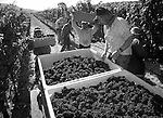 Photographs comissioned by Chef David LaMonica of Cafe Beaujolais in Mendocino, Californai, depiction local producers and providers of food and wine.