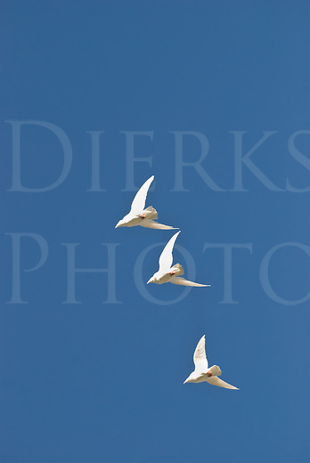 Three white pigeons flying high and fast in pattern against a pure blue sky.