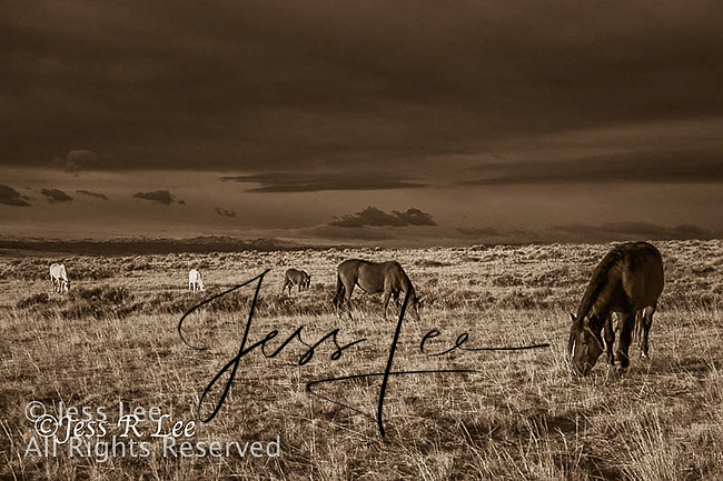 A photo of a small band of wild horses, a stallion and his two mares and foals at sunset with a stormy sky. Wild Horse Photography by western photographer Jess Lee. Pictures of mustangs in the West. Fine art images,Prints,photos Wild horse photo,wildhorses in the american west,