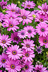 Coronado, San Diego, California; a bed of African Daisy flowers in the spring