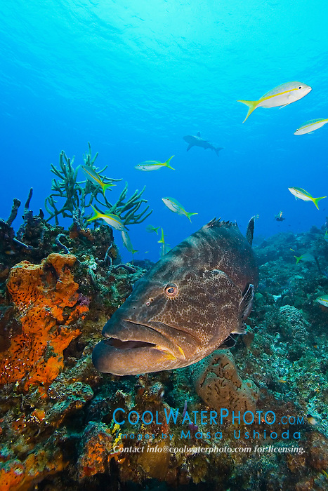 Black Grouper, Mycteroperca bonaci, West End, Grand Bahamas, Atlantic Ocean.
