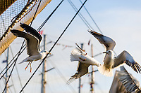 Norway, Stavanger. Tall Ships Race in Stavanger 2011. Lesser Black-backed Gulls.