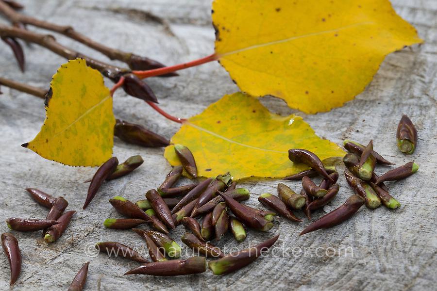 Balsam-Pappel, Balsampappel, harzige Knospen, Winterknospen, ätherische Öle, Räuchern, Räuchergut. Populus spec., balsam poplar, bud, buds