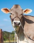 20130318 Swiss Guernsey Cows