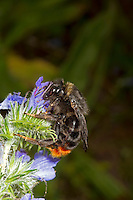 Hill or Red-tailed Cuckoo Bumblebee - Bombus rupestris - female, feeding on Viper's Bugloss.