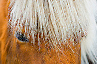 Close up of the eye of an Icelandic horse