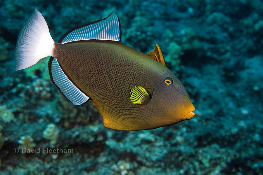 Pinktail durgon, Melichthys vidua, more correctly refered to as the pinktail triggerfish, reach about one foot in length.  Hawaii.