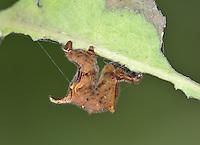 Lilac Beauty - Apeira syringaria