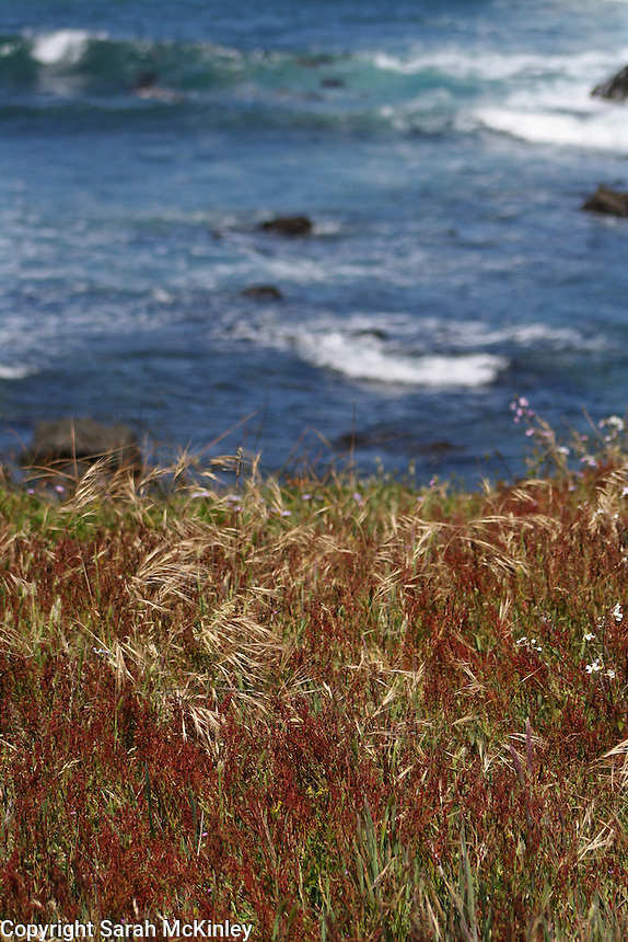 Grasses, some dry, some with red seedheads, on a bluff overlooking the blue waters of the Pacific Ocean at MacKerricher State Park near Fort Bragg in Mendocino County in Northern California.