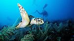 Eretmochelys imbricata, Hawksbill sea turtle, Florida Keys, diver