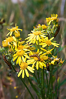 Caterpillars feed on Ragwort plant, Blakeney Point, Norfolk, United Kingdom