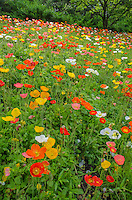 Hybrid poppies fill a small hillside at the Chicago Botanic Garden in Cook County, Illinois