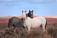 A pair of wild mustang mares are virtually inseparable on the high plains of Wyoming's Red Desert region.