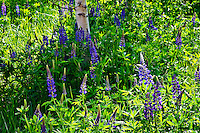 Aspen and lupine dot the landscape surrounding the visitor center at the Laurance S. Rockefeller Preserve in Grand Teton National Park.