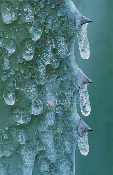 Agave, Century Plant, Agavaceae, leaf after Ice Rain, San Antonio, USA