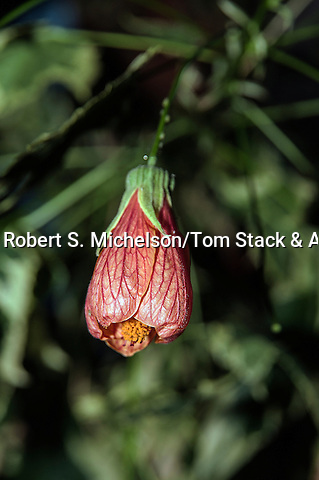 """Flowering Maple, """"Souvenir De Bonn"""""""