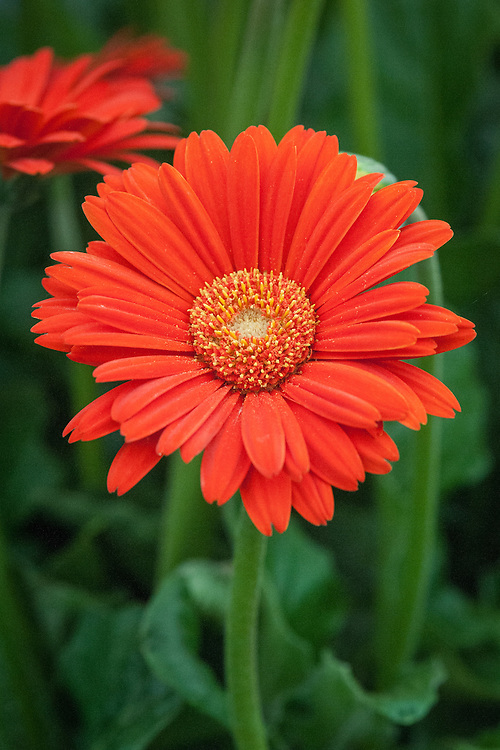 Gerbera 'Sweet Glow' (Garvinea Sweet Series), large hardy perennial gerbera shortlisted for Plant of the Year at the RHS Chelsea Flower Show, 2014.