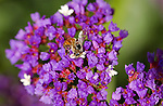 Bee on Status, Western Honey Bee, Statice, Southern California