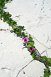 Beach morning glory, Ipomoea pes-caprae, adds color to the white sugar sand.