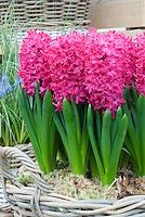 Forcing Bulbs: Hyacinthus orientalis Jan Bos in basket indoors bloom red pink