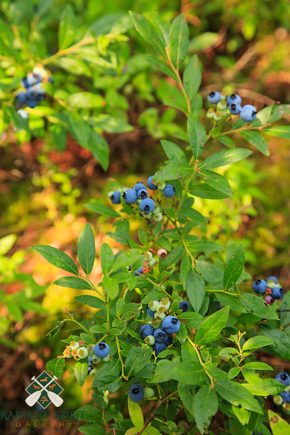 &quot;Blueberry Heaven&quot;<br />