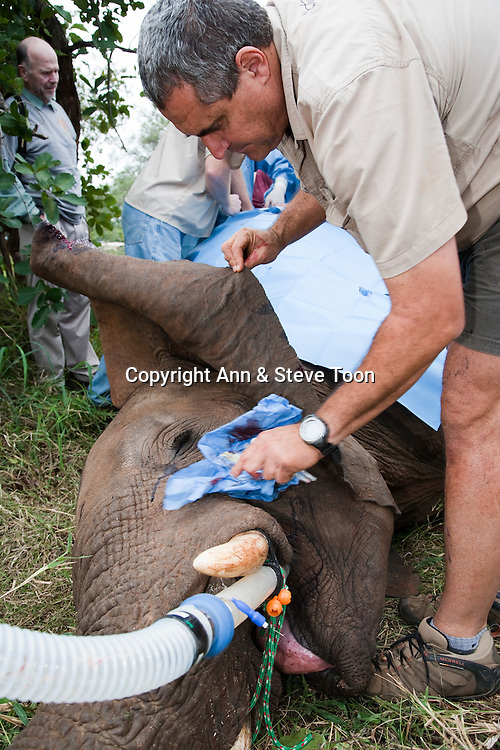 Dr Douw Grobler caring for wild elephant, Loxodonta africana, under anaesthetic after undergoing vasectomy carried out by Elephant Population Management Program veterinary team. Private game reserve in Limpopo, South Africa. Veterinarian Dr Grobler is a specialist in large animal capture.