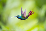 A male Black-Throated Mango Hummingbird, Anthracothorax nigricollis, one of 13 species of hummingbirds found in Trinidad.