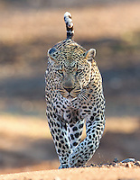 The Bicycle Crossing Male is perhaps the most dominant male leopard at MalaMala.  He has the largest recorded territory of any male in the Sabi Sands.