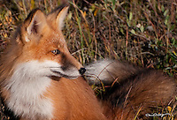 A red fox scans the tundra for prey on Alaska's north slope.