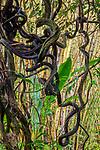 Woody liana vines reach for light, Hawai'i, USA