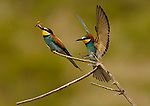Bee Eater (merops apisater ) sitting on branch with insect in it´s  beak with second Bee Eater about to land on branch, Andalucia, Spain.