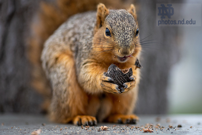 March 28, 2020; A squirrel has a snack. (Photo by Matt Cashore/University of Notre Dame)