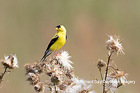 01640-16503 American Goldfinch (Spinus tristis) male eating seeds at thistle plant Marion Co. IL