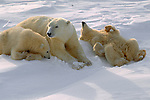 Rolling on the hard-packed snow satisfies young polar bear cubs' need for amusement and helps remove frozen clumps of snow from their fur.<br /> Wapusk National Park, Manitoba, Canada