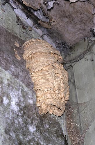 Hornet Nest - Vespa crabro
