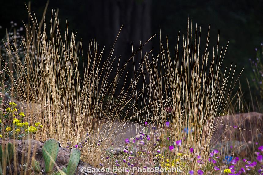 Stipa lemmonii (Lemmon's Stipa, Lemmon's Needlegrass), California native grass, East Bay Regional Parks Botanic Garden