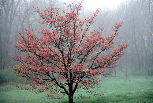 Four seasons of a Dogwood tree, Conus florida: spring blossoms of pink flowers in mist