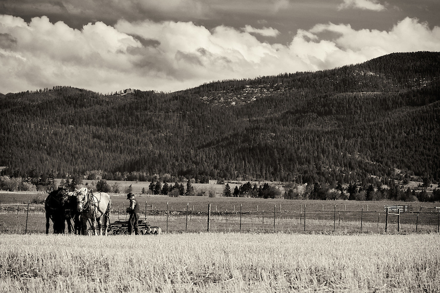 A middle-aged Amish man rigs a horse-drawn farm implement in St. Ignatius, Montana.